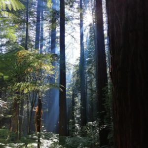 Séquoias de la Redwoods forest