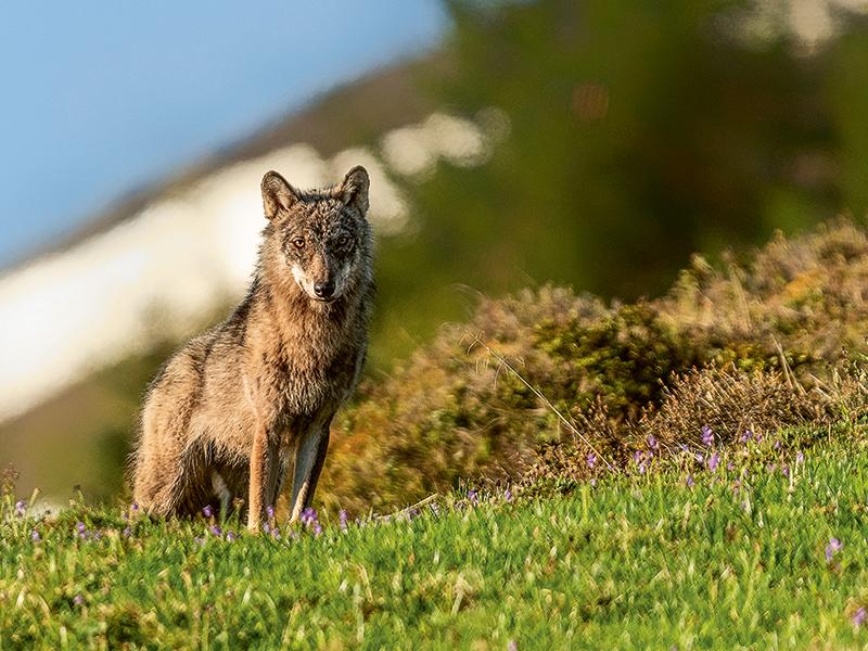 En Valais, le débat risque de tourner, à tort, pour ou contre le loup.