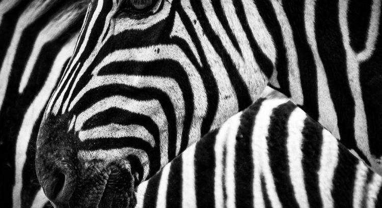 cas-particulier-leader-hpi-zebre