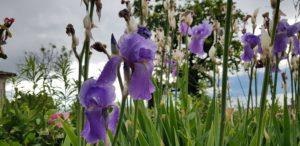 Iris, prénom masculin et nom commun masculin