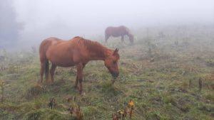chevaux dans le brouillard, août 2021