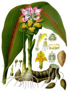 Curcuma_zedoaria_-_Köhler–s_Medizinal-Pflanzen-048