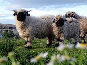 "A FARMER has spent an estimated £55,000 to import a flock of the world's cutest sheep to the Scottish Highlands. Valais Blacknose sheep are only found in Switzerland where they are ""worshipped"" by locals for their ""black hole"" faces, shaggy coats and spiral horns. Raymond Irvine paid around £5,000 a time for 11 sheep - 10 ewes and show-winning ram King kong - making it the first herd north of the border. The sheep are so valuable he has installed CCTV and brought in guard dogs to stop them being stolen from his farm near Tomintoul, Moray. Raymond and girlfriend Jenni (corr) McAllister got a surprise when it turned out one of the ewes was already pregnant, giving birth to Scotland's first baby Valais Blacknose."