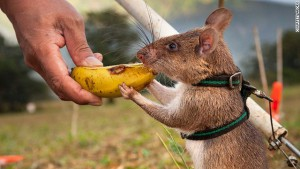 140926094353-apopo-rat-test-mine-field-banana-horizontal-gallery