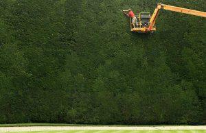 largest-yew-tree