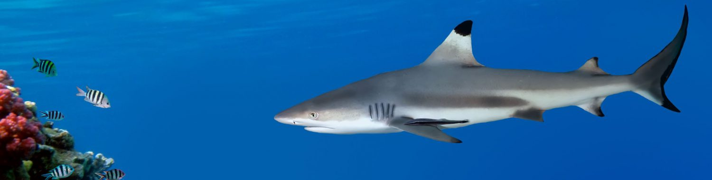 Kenel de Requin