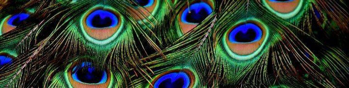 L'oeil du Paon