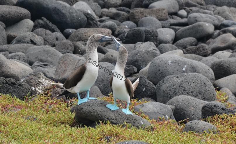 Galápagos 3 : ...un ballet aérien hors du commun.