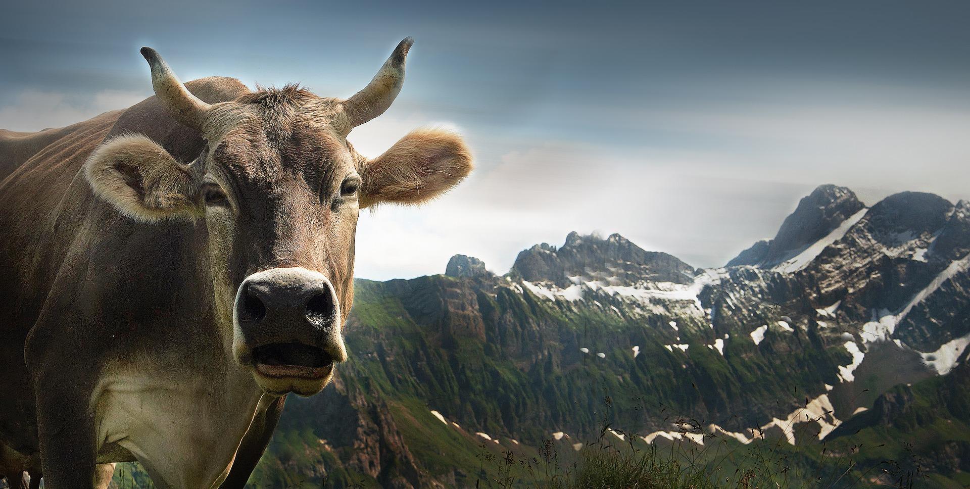 Si j'étais une vache, je voudrais garder mes cornes