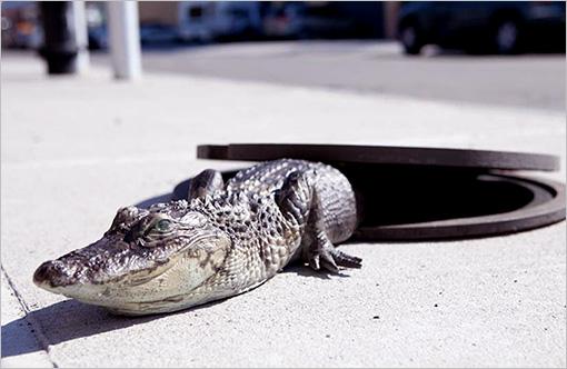 Des chiens défoncés et des alligators dans les égouts